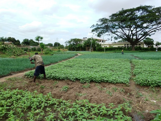 A farmer works a plot in Accra, Ghana. Agriculture in urban and peri-urban (or urban–rural transition) zones can contribute to food security for cities in the developing world, but UPA systems face pressure from the impacts of urbanization and climate cha