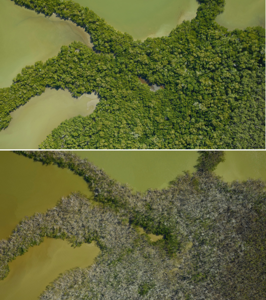 The Ten Thousand Islands mangrove ecosystem in the Florida Everglades pictured before (top, March 28, 2017) and after (bottom, December 1, 2017) Hurricane Irma