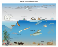 Arctic Marine Food Web