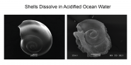 Shells Dissolve in Acidified Ocean Water