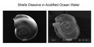 Shells Dissolve in Acidified Ocean Water