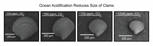 Ocean Acidification Reduces Size of Clams