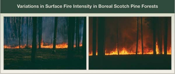 Variations in Surface Fire Intensity in Boreal Scotch Pine Forests